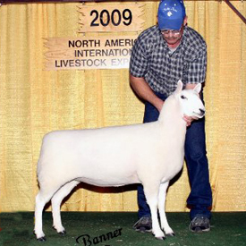 Best Headed Ewe - 2009 NAILE Open Cheviot Show