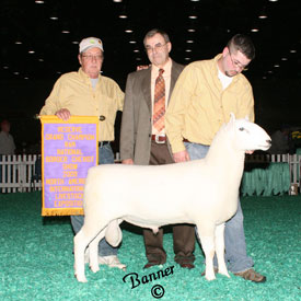 Reserve Grand Champion Ram - 2009 NAILE Open Cheviot Show