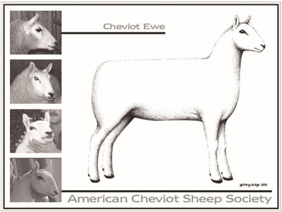 Cheviot Ewe Standards